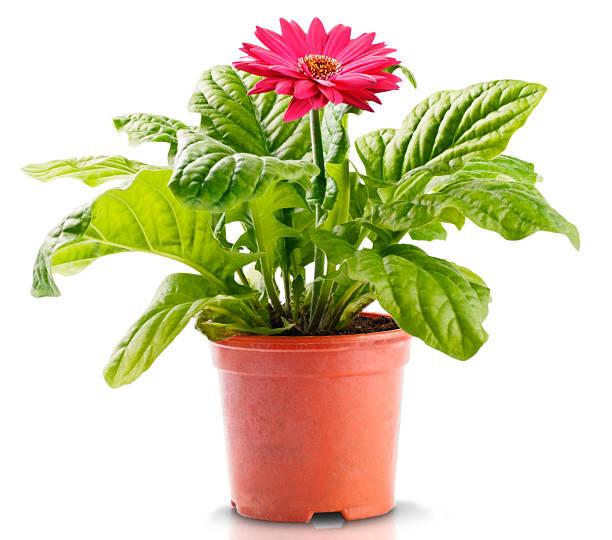 Red Gerbera in Flowerpot:スマホ壁紙(壁紙.com)