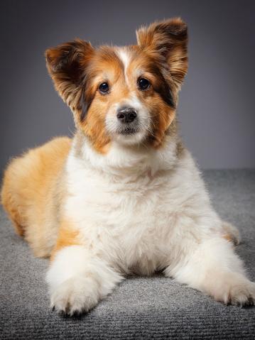 動物・ペット「純血シェルティー犬」:スマホ壁紙(18)