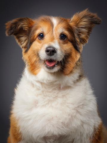 動物・ペット「純血シェルティー犬」:スマホ壁紙(10)