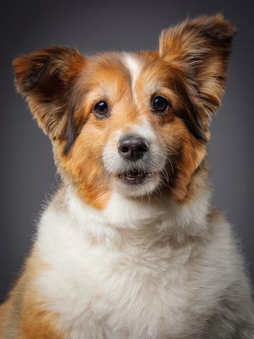 動物・ペット「純血シェルティー犬」:スマホ壁紙(11)