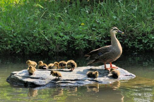 Water's Edge「Family of  eastern spot-billed duck」:スマホ壁紙(15)