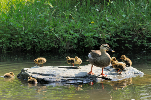 Water's Edge「Family of  eastern spot-billed duck」:スマホ壁紙(8)