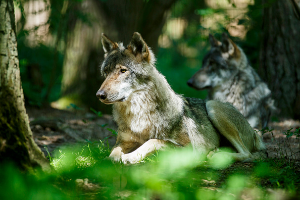 Animal Themes「After 150 Years The European Wolf Makes A Comeback」:写真・画像(9)[壁紙.com]