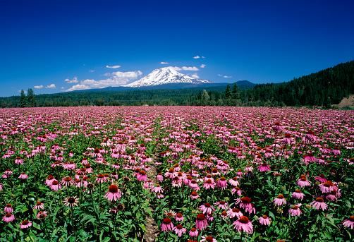 アダムス山「Echinacea Field and Mount Adams」:スマホ壁紙(0)