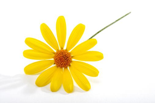 Marguerite - Daisy「Yellow marguerite」:スマホ壁紙(19)