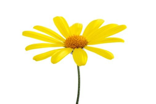 Single Flower「Yellow marguerite」:スマホ壁紙(16)