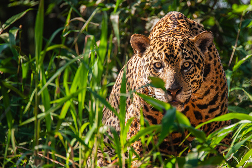 Big Cat「A wild jaguar in the Pantanal is watchful while laying in thick vegetation along the river bank of t」:スマホ壁紙(18)