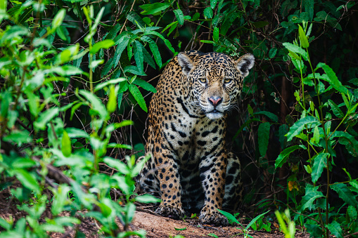 Stalking - Animal Hunting「A wild jaguar hunting in the Pantanal appears out of thick vegetation」:スマホ壁紙(3)