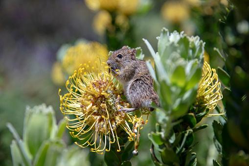 Mouse - Animal「Mouse eating a 'Yellow Bird' flower」:スマホ壁紙(13)