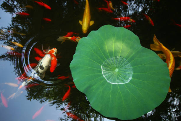 Goldfish pond:スマホ壁紙(壁紙.com)