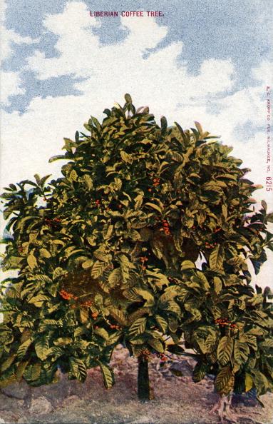 Coffee Crop「Liberian Coffee Tree」:写真・画像(19)[壁紙.com]