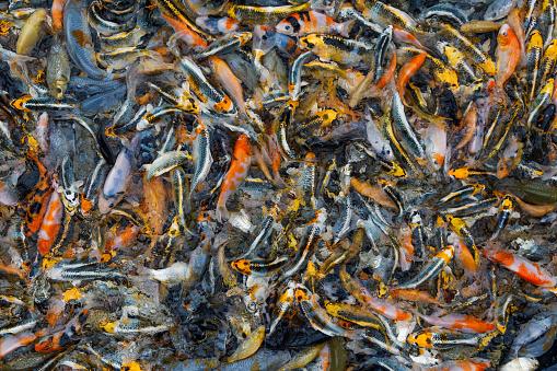 Carp「Koi Carp seen during a large scale feeding frenzy, Oxfordshire, England, United Kingdom」:スマホ壁紙(4)