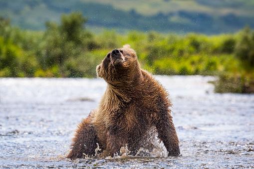 Katmai National Park「Alaska Peninsula brown bear (Ursus arctos horribilis) shaking off water, Katmai National Park and Preserve, Alaska, USA」:スマホ壁紙(18)