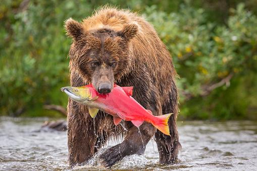 Katmai National Park「Alaska Peninsula brown bear (Ursus arctos horribilis) with freshly caught salmon, Katmai National Park and Preserve, Alaska, USA」:スマホ壁紙(3)
