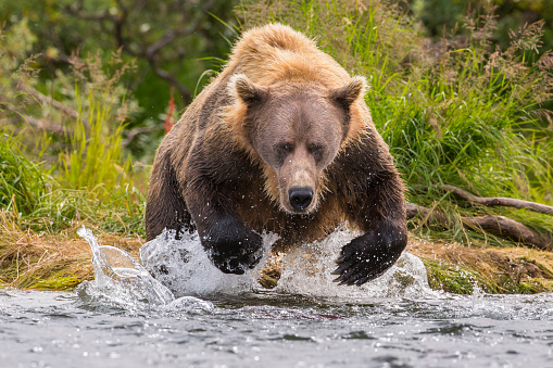 Animals Hunting「Alaska Peninsula brown bear (Ursus arctos horribilis) hunting for salmon, Katmai National Park, Alaska, USA」:スマホ壁紙(18)