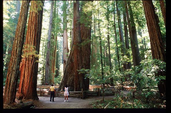 Sequoia Tree「California Redwood Industry」:写真・画像(5)[壁紙.com]