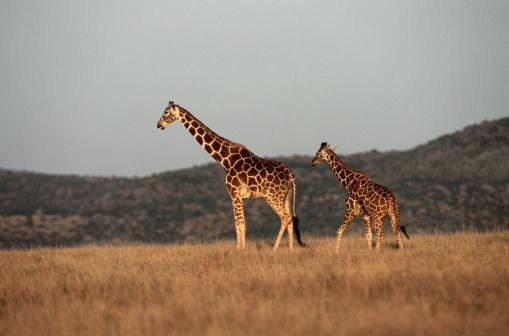 Giraffe「Kenya, giraffe (Giraffa camelopardalis) mother and calf walking」:スマホ壁紙(3)