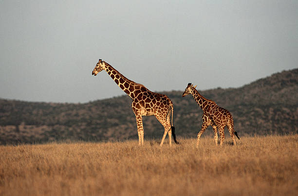Kenya, giraffe (Giraffa camelopardalis) mother and calf walking:スマホ壁紙(壁紙.com)
