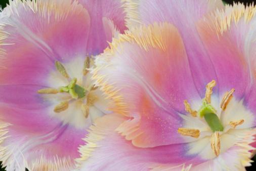 Keukenhof Gardens「Fringed Tulip Close-up」:スマホ壁紙(11)