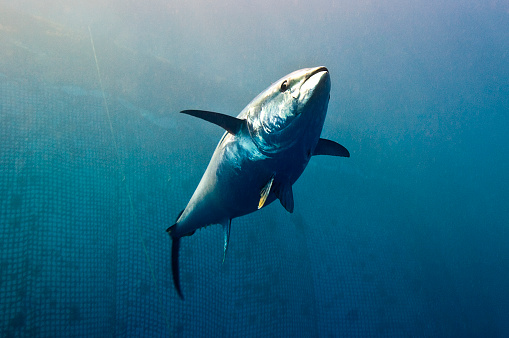 Mediterranean Sea「Yellowfin tuna.」:スマホ壁紙(15)