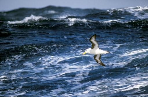 Albatross「Black browed albatross in flight over the sea」:スマホ壁紙(17)