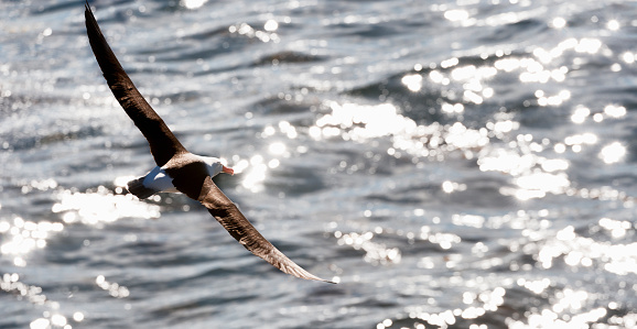 Falkland Islands「Black browed albatross in flight over the sea」:スマホ壁紙(7)