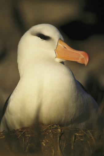 Falkland Islands「black browed albatross」:スマホ壁紙(9)