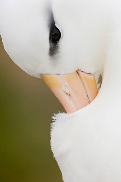 Black browed Albatross preening:スマホ壁紙(壁紙.com)