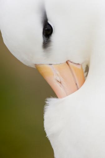 Falkland Islands「Black browed Albatross preening」:スマホ壁紙(9)