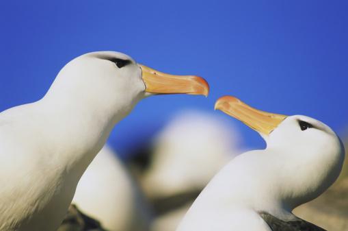 Falkland Islands「black browed albatrosses」:スマホ壁紙(17)