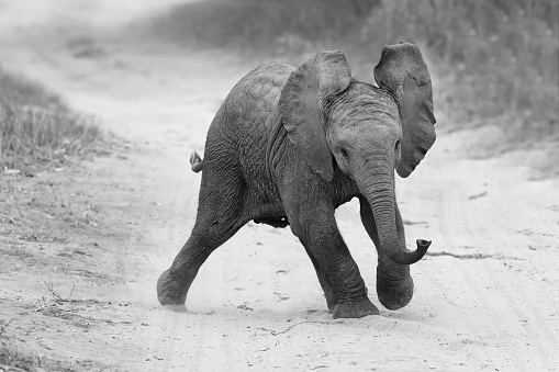 Elephant「Young elephant play on road while family feed nearby in artistic conversion - Sabie Sands National Park, South Africa」:スマホ壁紙(8)