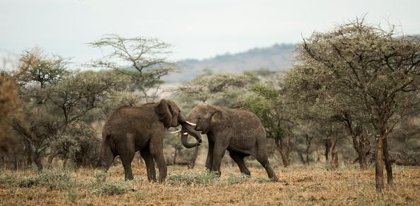 野生動物「Young elephants playing, fighting」:スマホ壁紙(14)