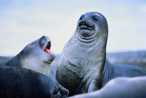 Baby animal「Young elephant seals (Mirounga leonina)Antarctica」:スマホ壁紙(15)