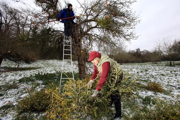 Mistletoe「Mistletoe Farmers Prepare For The Christmas Rush」:写真・画像(15)[壁紙.com]