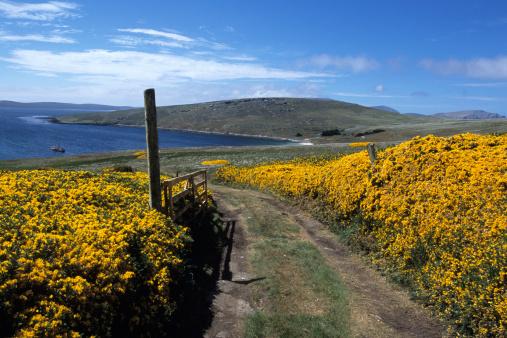 Falkland Islands「Gorse-lined (Ulex europaeus) pathway.」:スマホ壁紙(10)