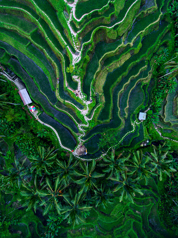 Balinese Culture「Tegallalang Rice terraces」:スマホ壁紙(2)