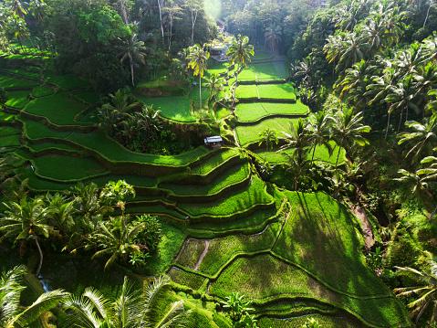 Ubud District「Tegallalang Rice terraces」:スマホ壁紙(6)