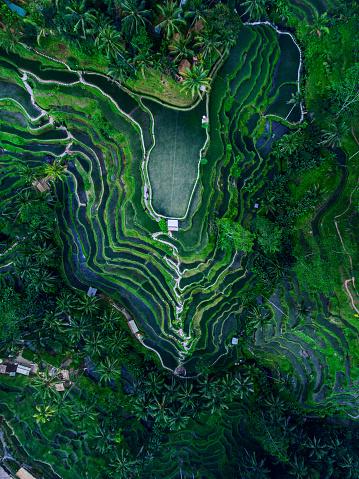 Ubud District「Tegallalang Rice terraces」:スマホ壁紙(7)