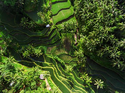 Ubud District「Tegallalang Rice terraces」:スマホ壁紙(11)