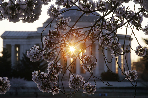 Alex Wong「Peak Bloom Hits During National Cherry Blossom Festival in Washington DC」:写真・画像(3)[壁紙.com]