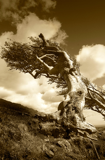 Isle of Man「Dramatic wind swept old gnarled bent and distorted mountain side tree set against a dramatic sky」:スマホ壁紙(10)