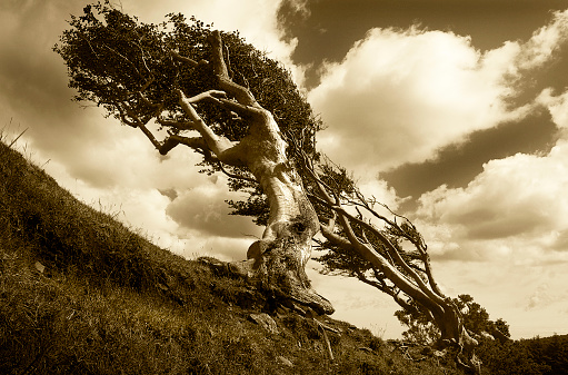 Isle of Man「Dramatic wind swept old gnarled bent and distorted mountain side tree set against a dramatic sky」:スマホ壁紙(12)
