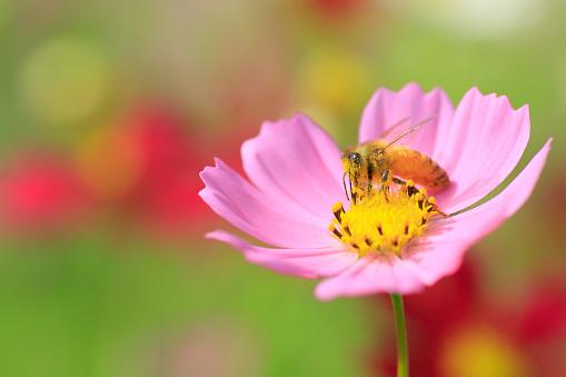 コスモス「Bee on Cosmos Flower」:スマホ壁紙(13)