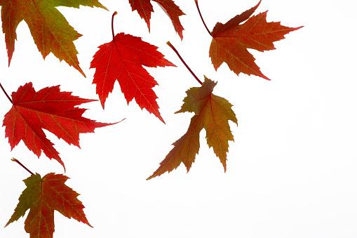 Japanese Maple「Flurry of Japanese maple leaves in autumn colour.」:スマホ壁紙(0)