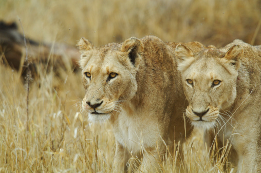 Animals Hunting「Lions prowling in grass, South Africa」:スマホ壁紙(9)