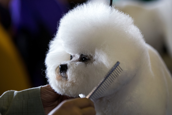 The Talented Mr「Canine Champions Compete In The Westminster Dog Show」:写真・画像(13)[壁紙.com]