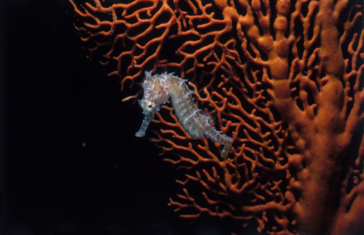 Soft Coral「Sea Horse on Coral」:スマホ壁紙(3)