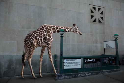 Giraffe「Giraffe entering subway」:スマホ壁紙(6)
