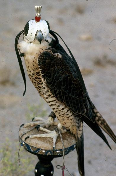 Hawk - Bird「Abu Dhabi」:写真・画像(17)[壁紙.com]