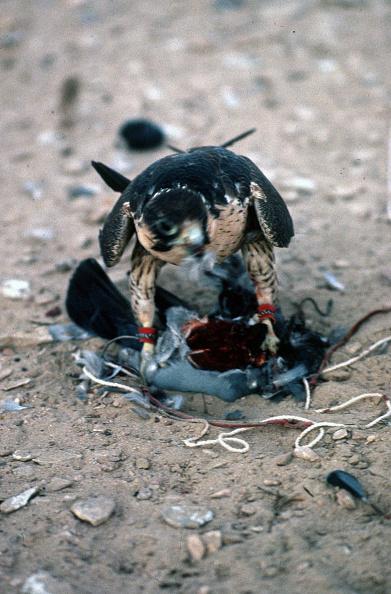 Hawk - Bird「Abu Dhabi」:写真・画像(18)[壁紙.com]